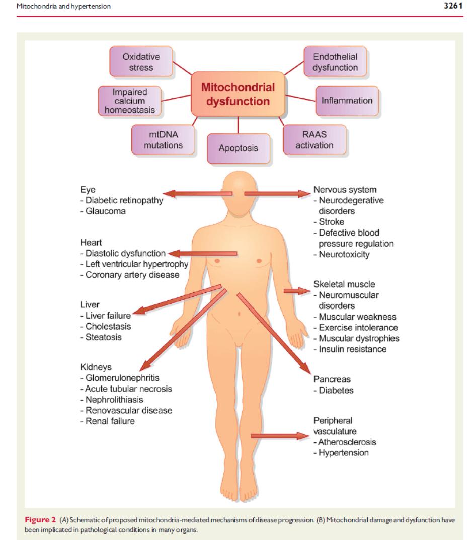 Hipertensionymitocondria