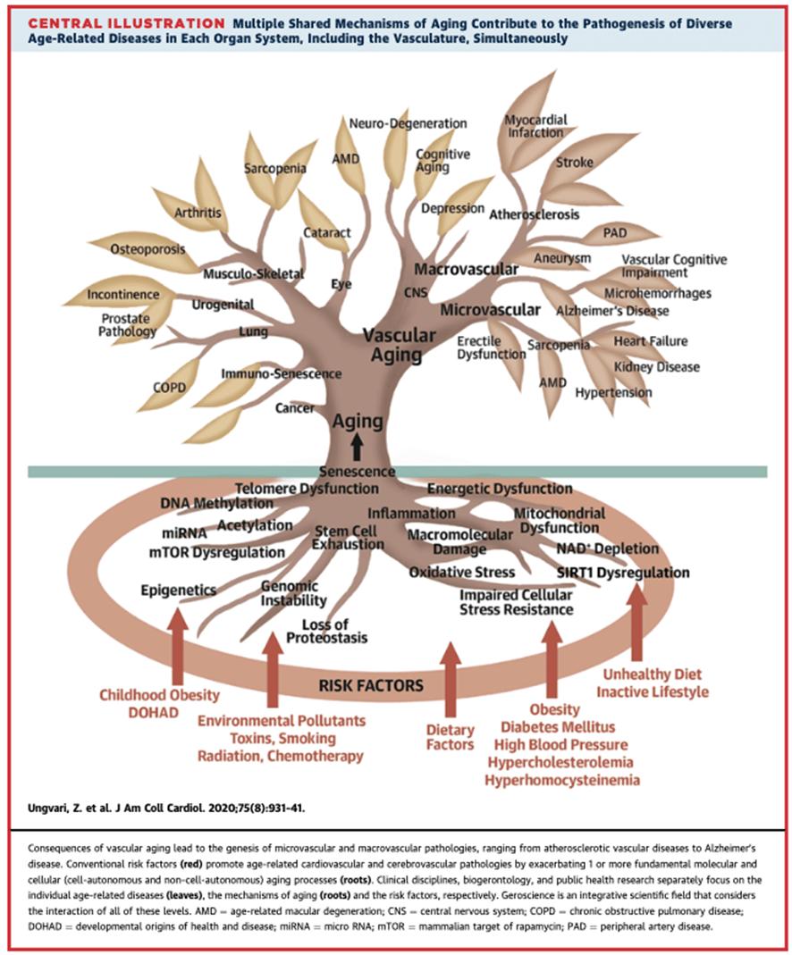 Mecanismos de envejecimiento